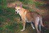 Thumbnail image 0 of Carolina Dog dog breed