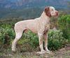 Thumbnail image 1 of Braque du Bourbonnais dog breed