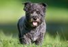Thumbnail image 0 of Cairn Terrier dog breed