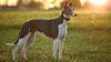 Thumbnail image 0 of Greyhound dog breed