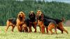 Thumbnail image 0 of Bruno Jura Hound dog breed
