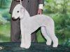 Thumbnail image 0 of Bedlington Terrier dog breed
