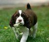 Thumbnail image 1 of English Springer Spaniel dog breed