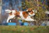 Thumbnail image 0 of Cavalier King Charles Spaniel dog breed