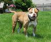 Thumbnail image 2 of American Bulldog dog breed
