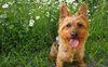 Thumbnail image 0 of Australian Terrier dog breed