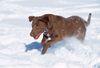 Thumbnail image 1 of Chesapeake Bay Retriever dog breed