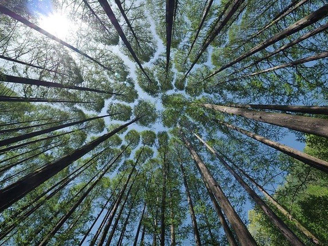 Blick in Baumkronen von unten. Diese können uns in unserer Trauer Kraft geben und uns stärken.