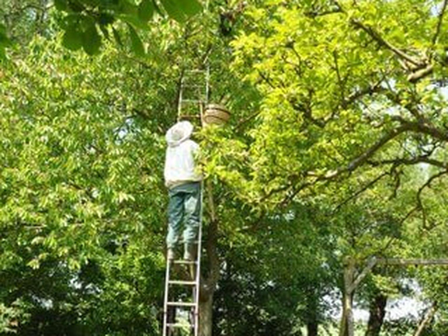 Verwijdering van bijennest voor Imkerij Regina