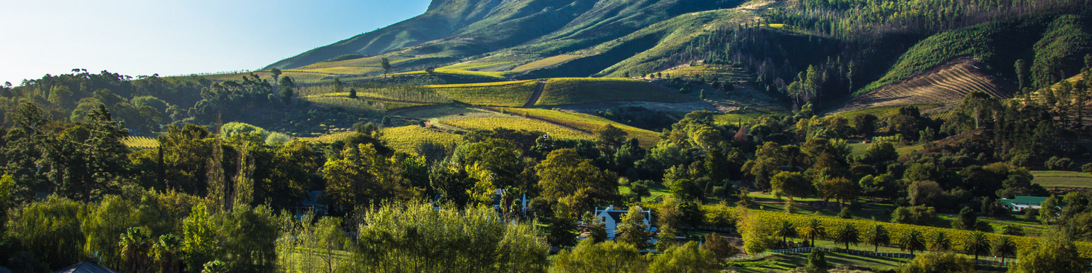 A vineyard in the Cape Winelands region in South Africa