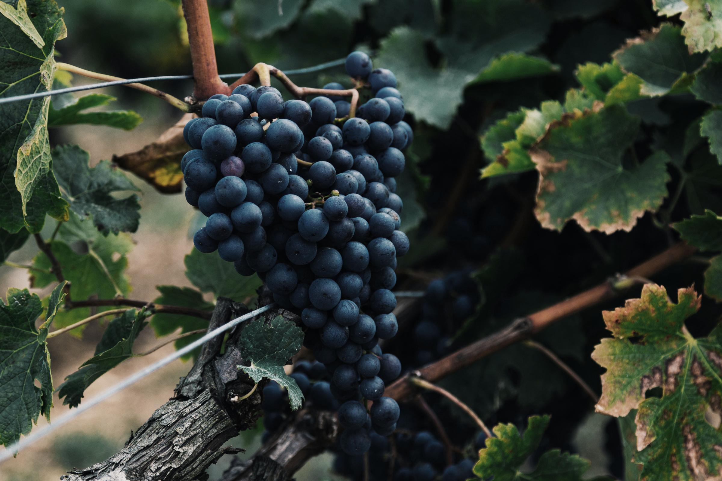 Läs mer om  *Pinot Noir*