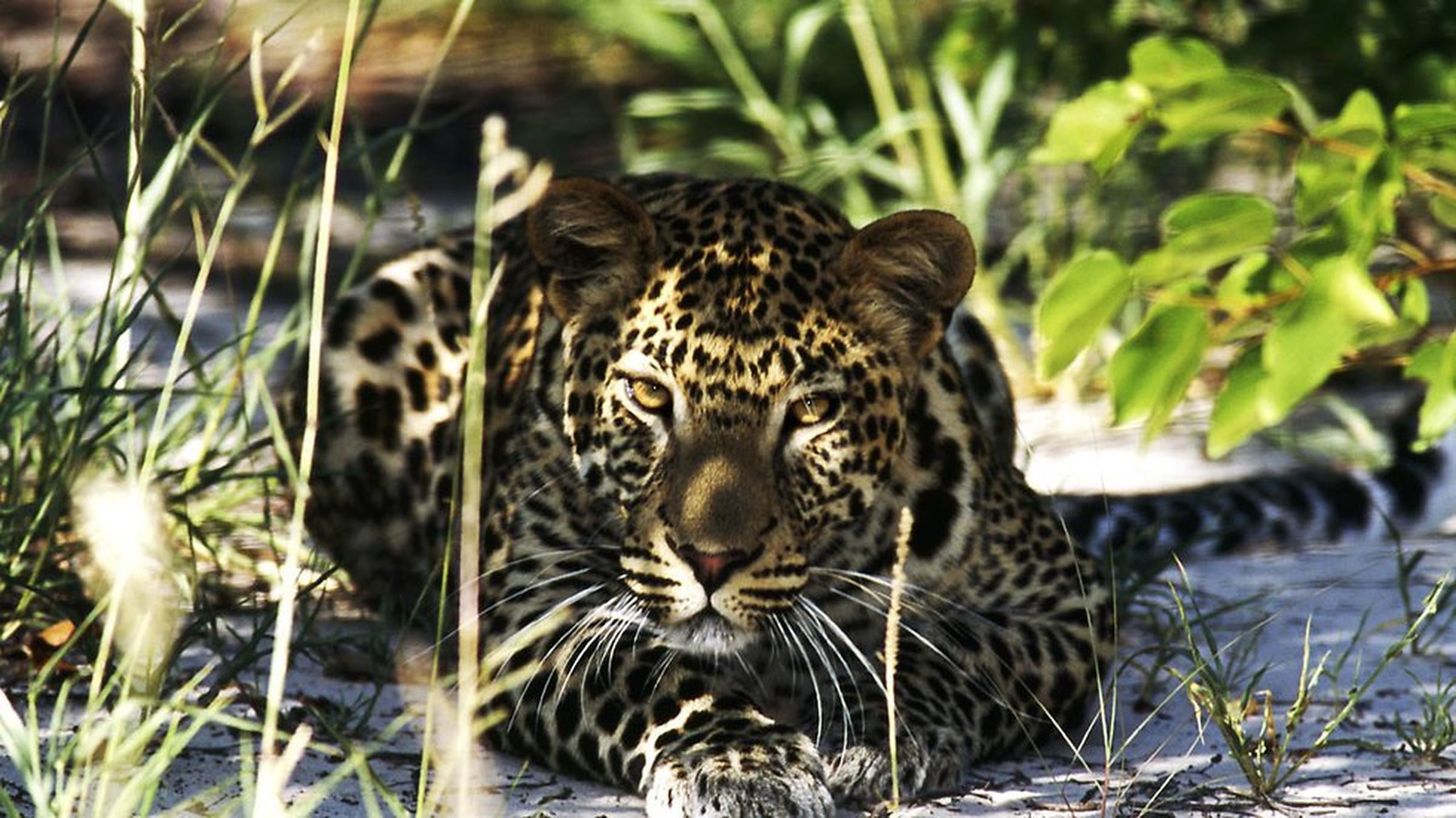 https://a.storyblok.com/f/105614/980x551/1e5987ca2a/leopard-1.jpeg