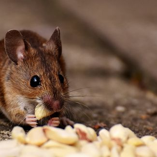 Mouse eating peanut