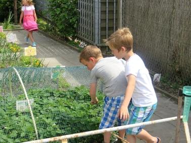 Ideeën voor de schooltuin voor kleuters week 8, kleuteridee , net over de aardbeien