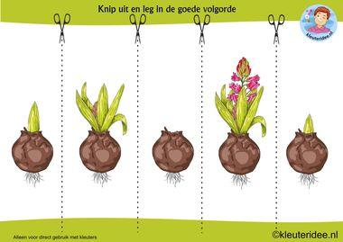werkblad logische volgorde thema lente hyacint, kleuteridee