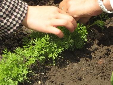 Ideeën voor de schooltuin voor kleuters week 7, kleuteridee , wortels en radijsjes uitdunnen