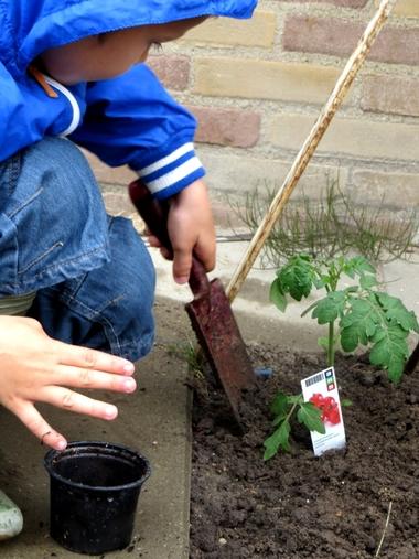 Ideeën voor de schooltuin voor kleuters week 9, kleuteridee , tomaten planten 2
