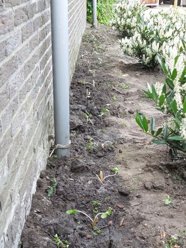 Ideeën voor de schooltuin voor kleuters week 6, kleuteridee.nl , zonnebloemplantjes buiten planten