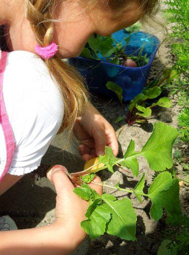 Ideeën voor de schooltuin voor kleuters week 10, kleuteridee , radijsjes oogsten
