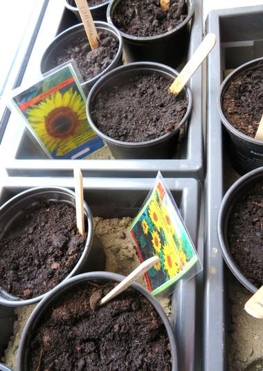 Ideeën voor de schooltuin voor kleuters week 4, kleuteridee.nl , zonnebloemen zaaien 2
