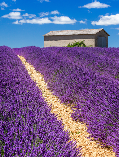 Lavender fields on the Plateau of Valensole, France