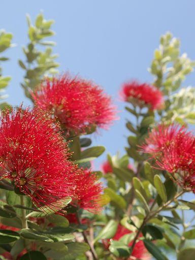 Pohutukawa blossom