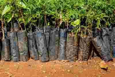 Bild vieler Baum-Setzlinge