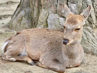 The famous deer in Nara, Japan