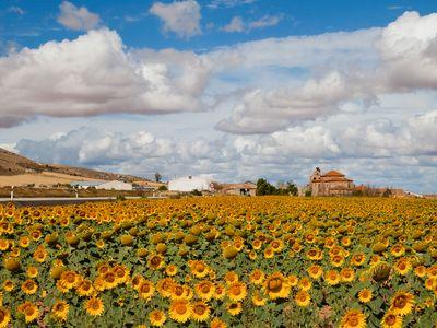 A sunflower field in Castejón, Spain
