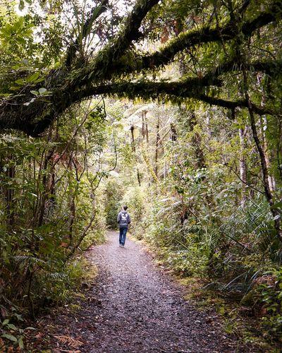 Walking through Waipoua Forest