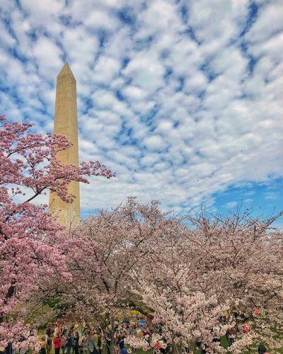 Washington DC in Cherry Blossom season