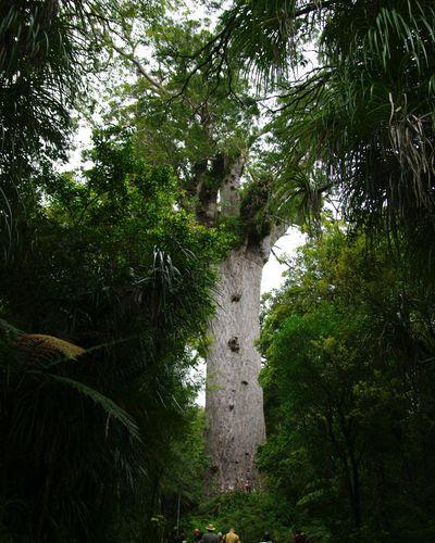 The giant kauri tree, Tane Mahuta.