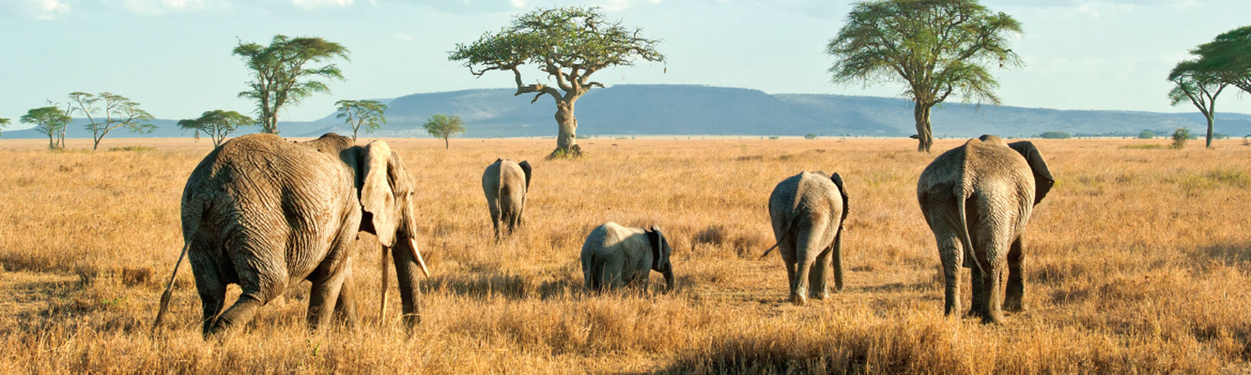 elephants walking in plains in kenya africa
