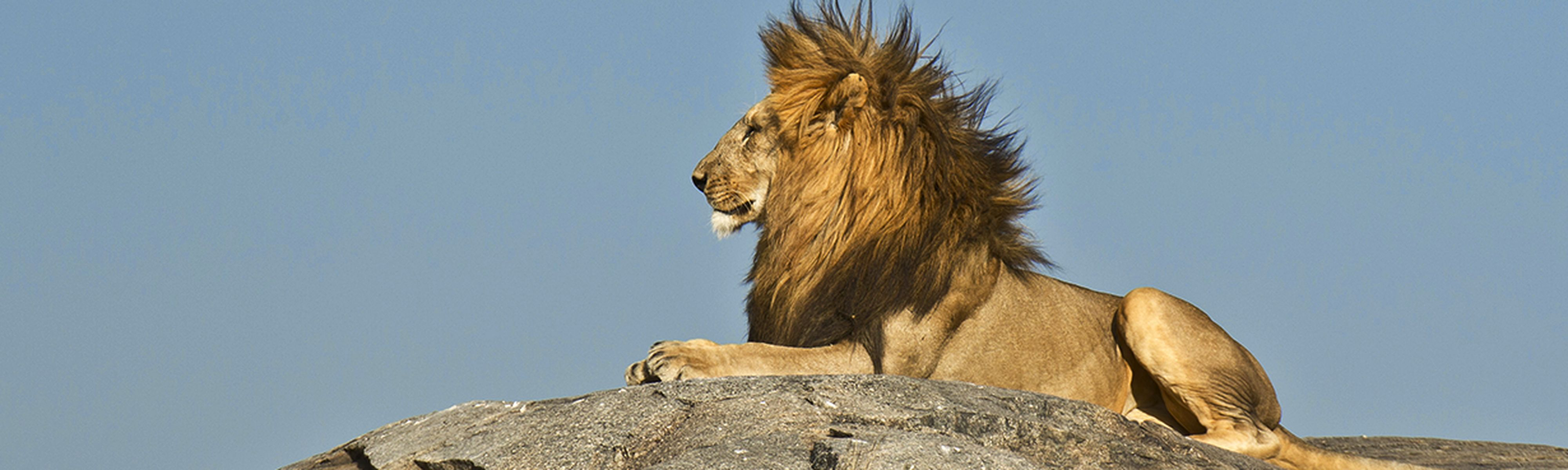 profile view of male lion sitting on rock in