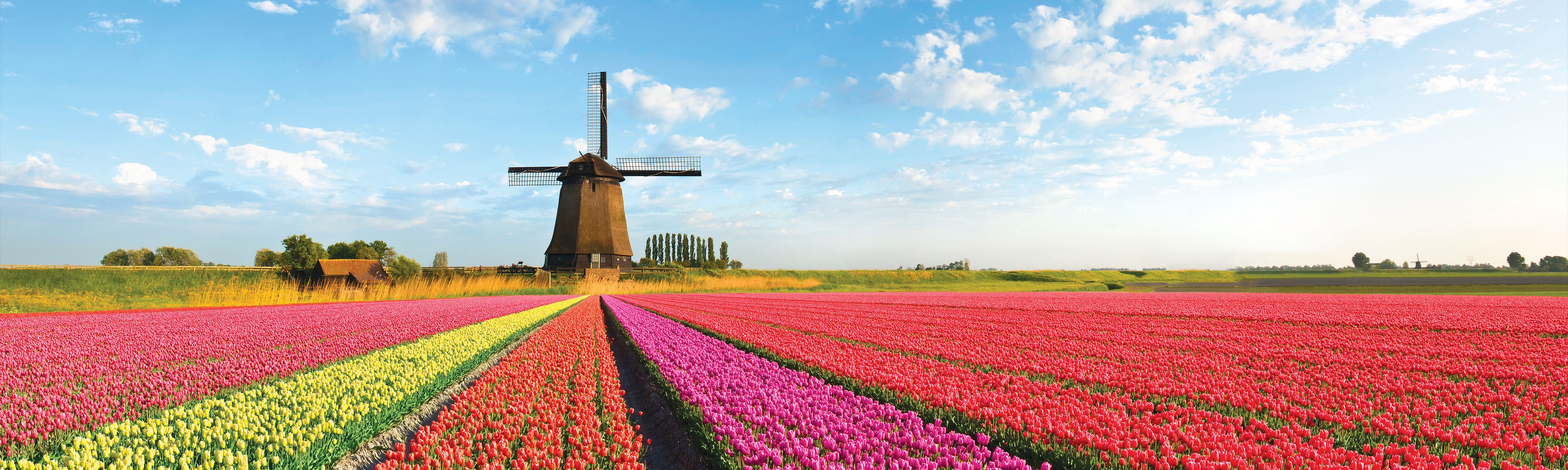 landscape of bouquet of colorful tulips and windmills in netherlands