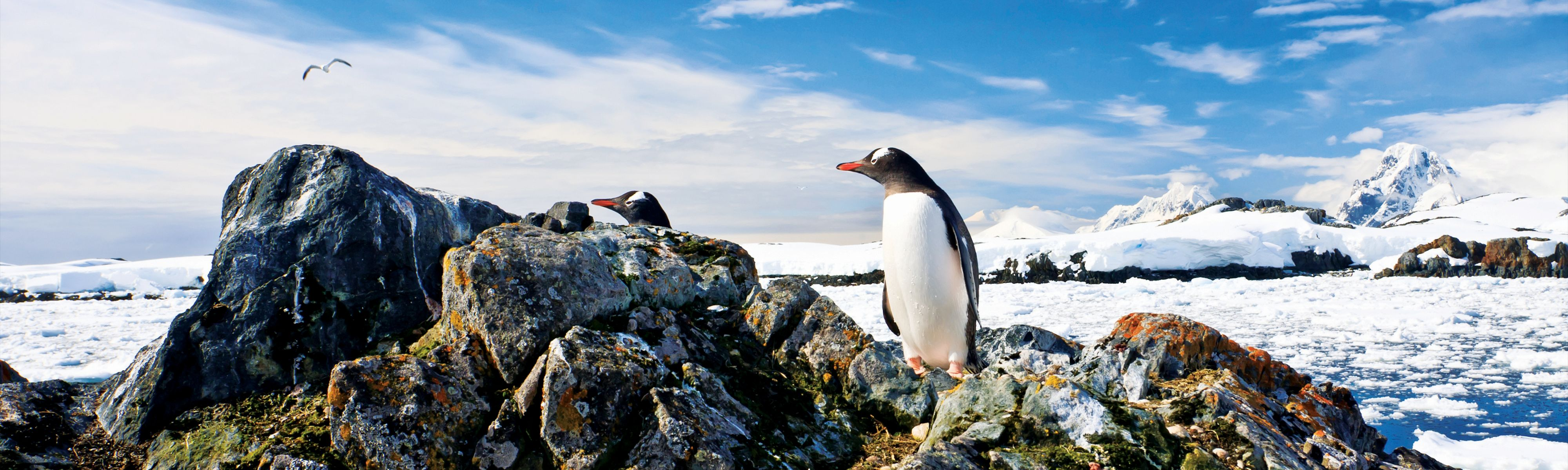 gentoo penguin standing on rock in antarctica
