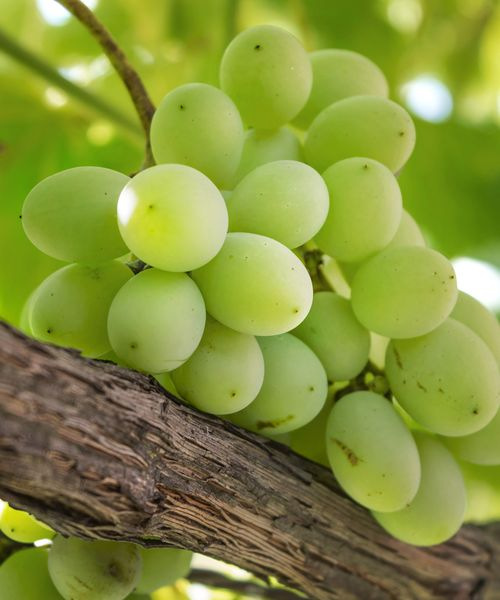 Close up of green grapes