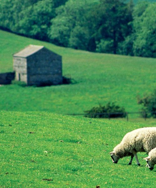 3 sheep grazing in grassy green field
