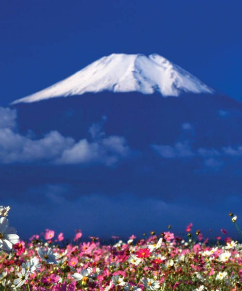 meadow with pink and white flowers near mount fuji in japan