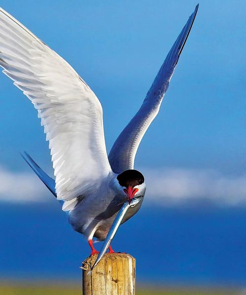 artic tern holding a fish in its mouth in iceland