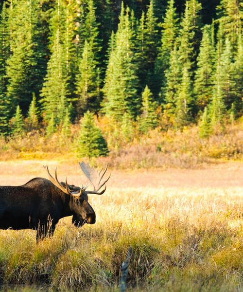 moose standing in grass surrounded by pine trees on sunny day