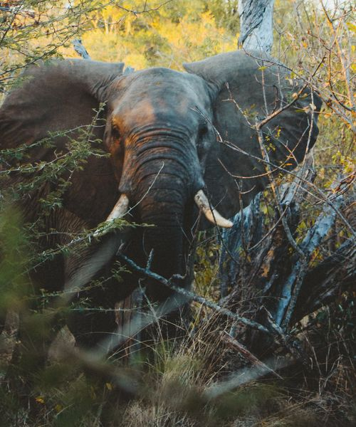 an elephant in the brush in south africa
