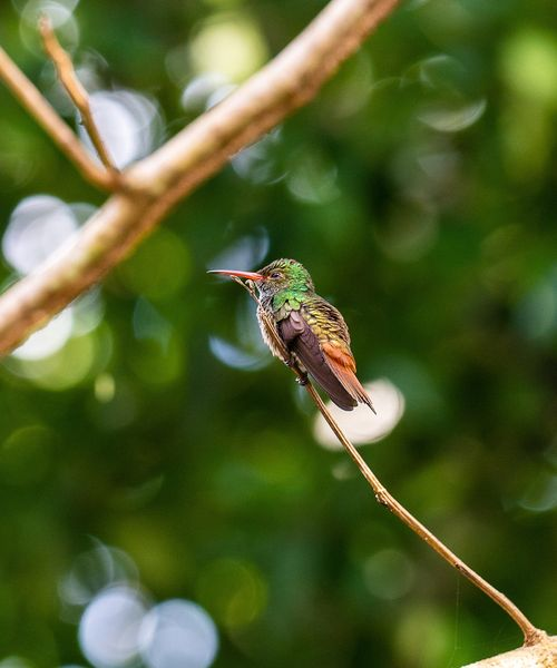 hummingbird sitting on a tree branch