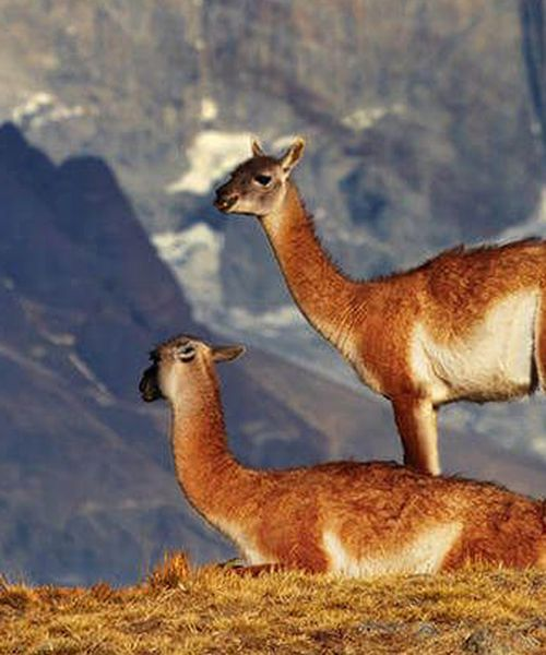 a pair of guanacos on a mountain in chile