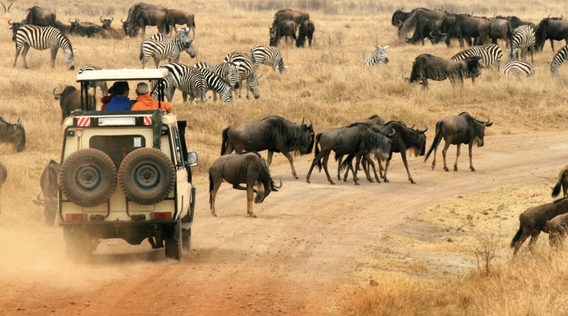 a four by four vehicle surrounded by wildebeest on a game drive in the african savanna