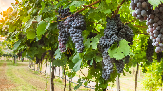a row of purple grapes hanging in a vineyard in southern italy