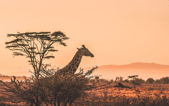 giraffe looking over savanna trees in kenya at sunrise
