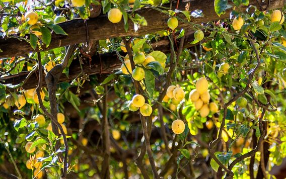 lemons growing on trees supported by a wooden framework on the amalfi coast in italy