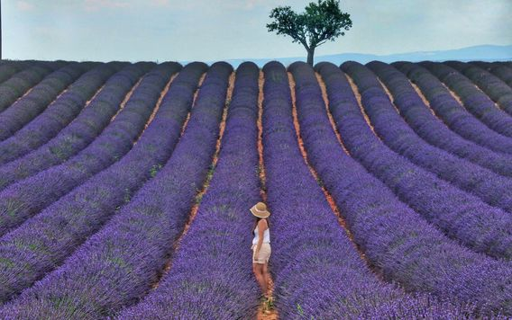 rows of purple flower lavender fields in provence france