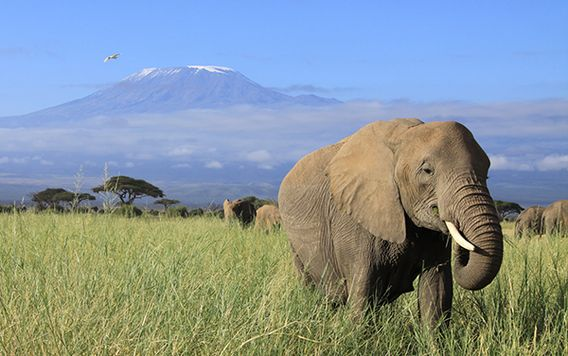 elephant walking in grassy field in kenya